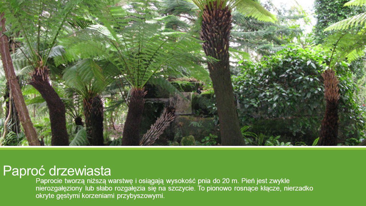 Paproć drzewiasta Paprocie tworzą niższą warstwę i osiągają wysokość pnia do 20 m. Pień jest zwykle nierozgałęziony lub słabo rozgałęzia się na szczyc