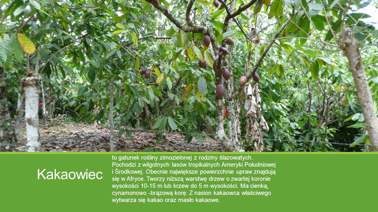 Kakaowiec to gatunek rośliny zimozielonej z rodziny ślazowatych. Pochodzi z wilgotnych lasów tropikalnych Ameryki Południowej i Środkowej. Obecnie naj