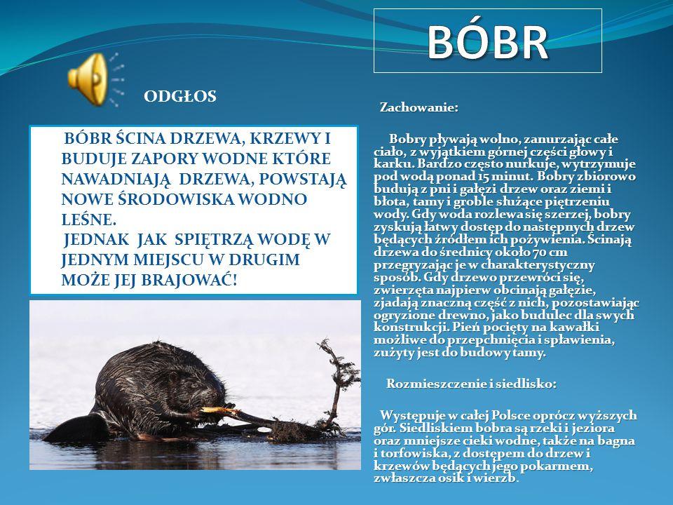 Zachowanie: Zachowanie: Bobry pływają wolno, zanurzając całe ciało, z wyjątkiem górnej części głowy i karku. Bardzo często nurkuje, wytrzymuje pod wod
