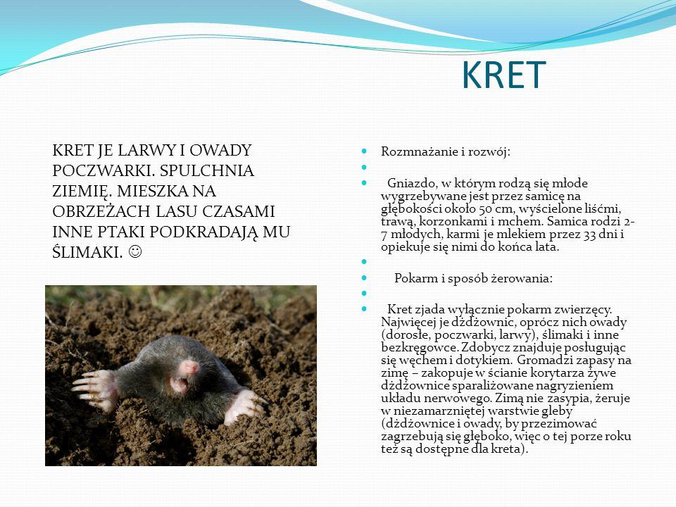 KRET Rozmnażanie i rozwój: Gniazdo, w którym rodzą się młode wygrzebywane jest przez samicę na głębokości około 50 cm, wyścielone liśćmi, trawą, korzo
