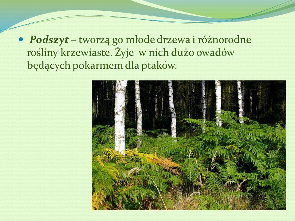 Podszyt – tworzą go młode drzewa i różnorodne rośliny krzewiaste. Żyje w nich dużo owadów będących pokarmem dla ptaków.