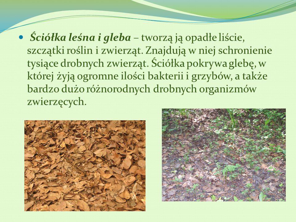 Ściółka leśna i gleba – tworzą ją opadłe liście, szczątki roślin i zwierząt. Znajdują w niej schronienie tysiące drobnych zwierząt. Ściółka pokrywa gl