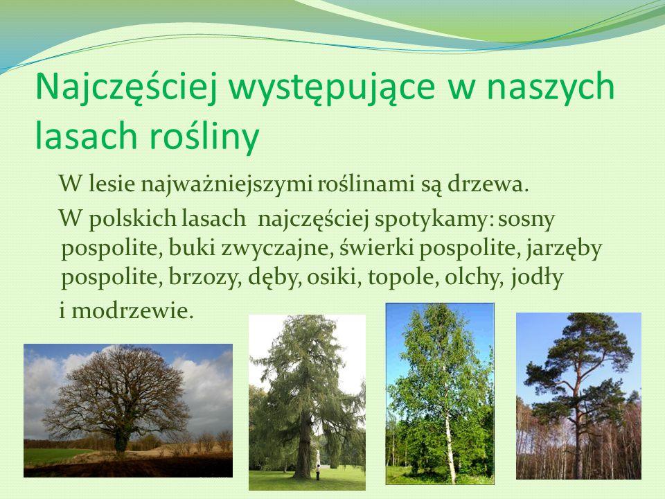 Najczęściej występujące w naszych lasach rośliny W lesie najważniejszymi roślinami są drzewa. W polskich lasach najczęściej spotykamy: sosny pospolite