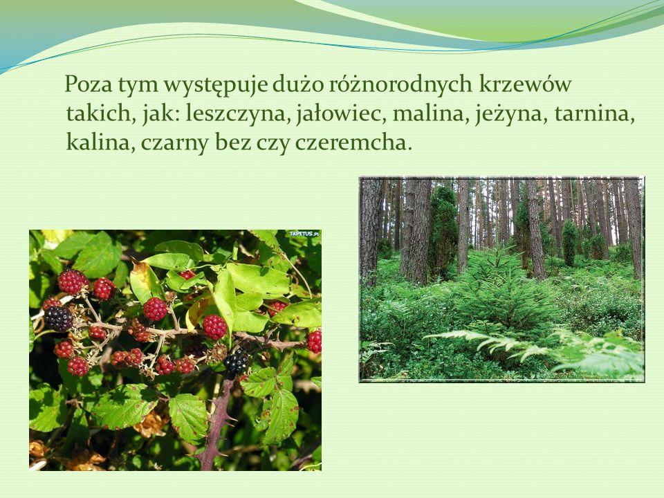 Poza tym występuje dużo różnorodnych krzewów takich, jak: leszczyna, jałowiec, malina, jeżyna, tarnina, kalina, czarny bez czy czeremcha.