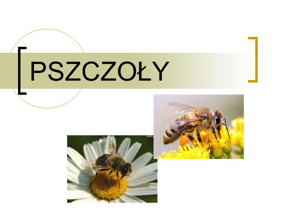 WIELE LUDZI UWARZA,ŻE PSZCZOŁY SĄ ZAGROŻENIEM Pszczoły to inteligentne owady,które są nam pożyteczne ponieważ dają nam słodziutki i rozkoszny miodek.