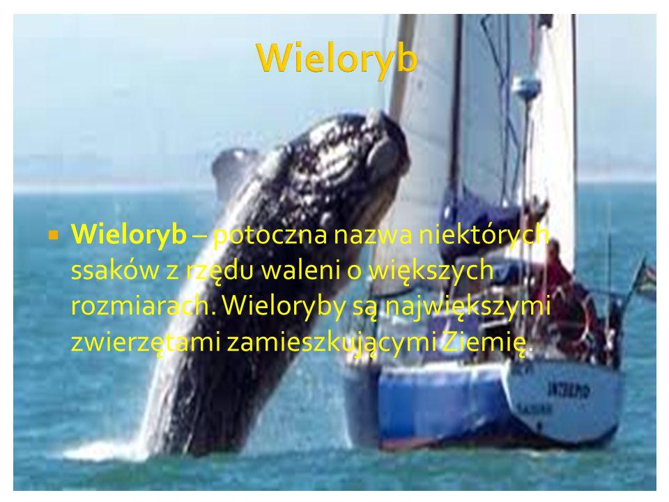  Wieloryb – potoczna nazwa niektórych ssaków z rzędu waleni o większych rozmiarach. Wieloryby są największymi zwierzętami zamieszkującymi Ziemię.