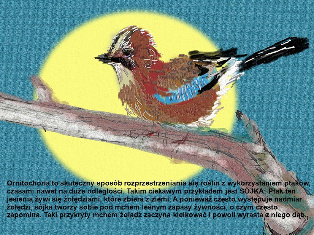 Ornitochoria to skuteczny sposób rozprzestrzeniania się roślin z wykorzystaniem ptaków, czasami nawet na duże odległości. Takim ciekawym przykładem je