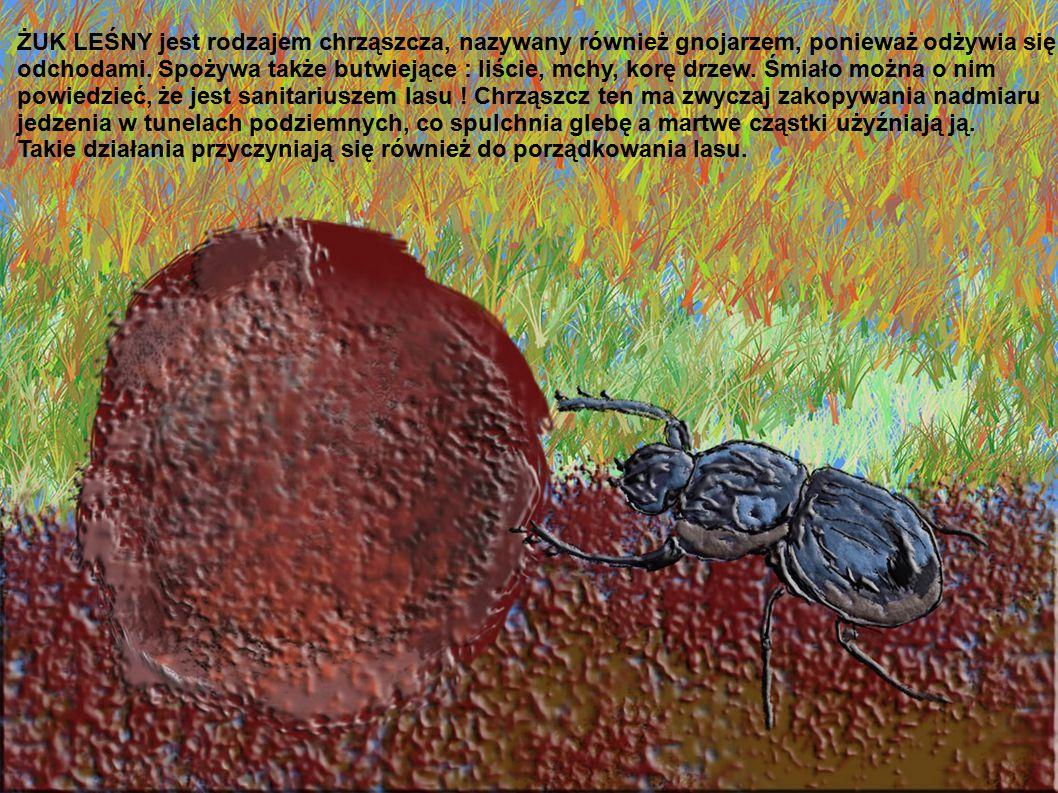 ŻUK LEŚNY jest rodzajem chrząszcza, nazywany również gnojarzem, ponieważ odżywia się odchodami. Spożywa także butwiejące : liście, mchy, korę drzew. Ś