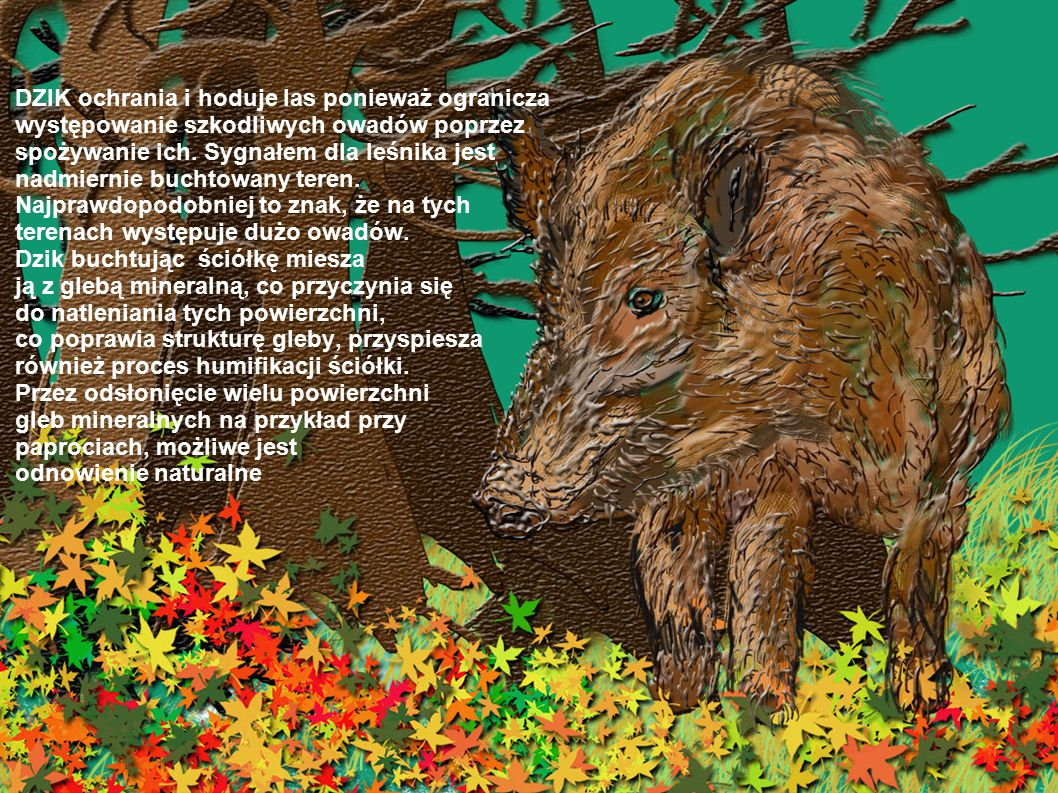 DZIK ochrania i hoduje las ponieważ ogranicza występowanie szkodliwych owadów poprzez spożywanie ich. Sygnałem dla leśnika jest nadmiernie buchtowany