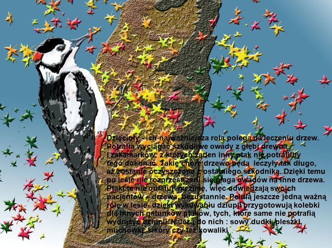Dzięcioły - ich najważniejsza rola polega na leczeniu drzew. Potrafią wyciągać szkodliwe owady z głębi drewna i zakamarków, z których żaden inny ptak