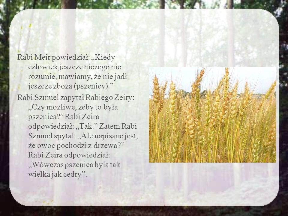 """Rabi Meir powiedział: """"Kiedy człowiek jeszcze niczego nie rozumie, mawiamy, że nie jadł jeszcze zboża (pszenicy). Rabi Szmuel zapytał Rabiego Zeiry: """"Czy możliwe, żeby to była pszenica Rabi Zeira odpowiedział: """"Tak. Zatem Rabi Szmuel spytał: """"Ale napisane jest, że owoc pochodzi z drzewa Rabi Zeira odpowiedział: """"Wówczas pszenica była tak wielka jak cedry ."""