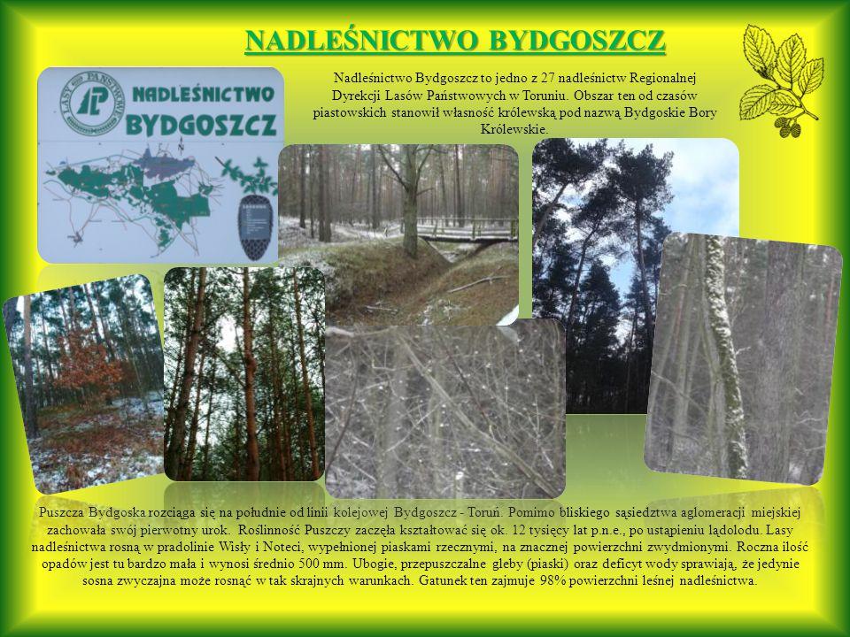 Puszcza Bydgoska rozciąga się na południe od linii kolejowej Bydgoszcz - Toruń.