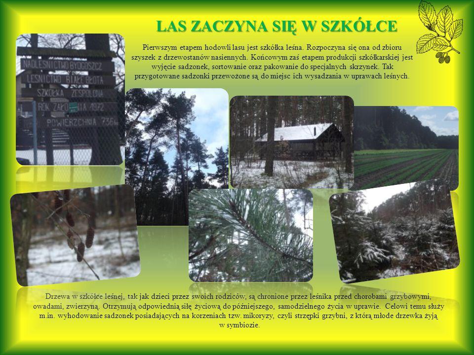 Pierwszym etapem hodowli lasu jest szkółka leśna.