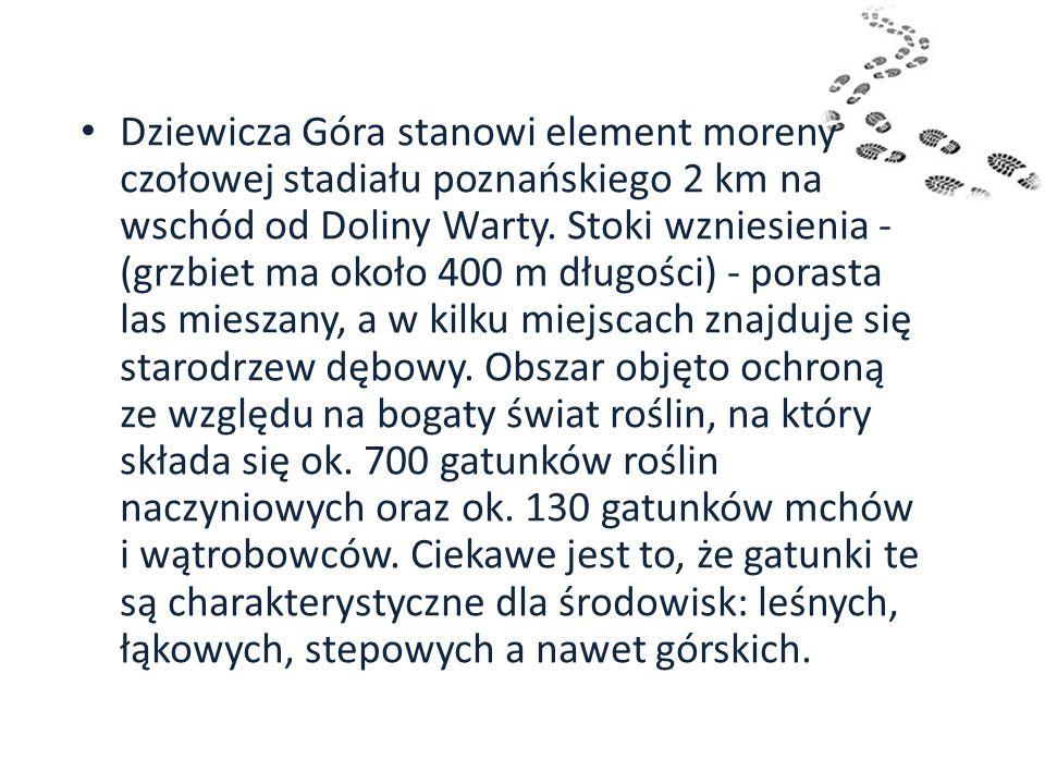 Dziewicza Góra stanowi element moreny czołowej stadiału poznańskiego 2 km na wschód od Doliny Warty. Stoki wzniesienia - (grzbiet ma około 400 m długo