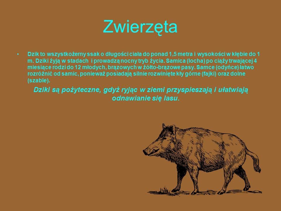 Zwierzęta Dzik to wszystkożerny ssak o długości ciała do ponad 1,5 metra i wysokości w kłębie do 1 m. Dziki żyją w stadach i prowadzą nocny tryb życia