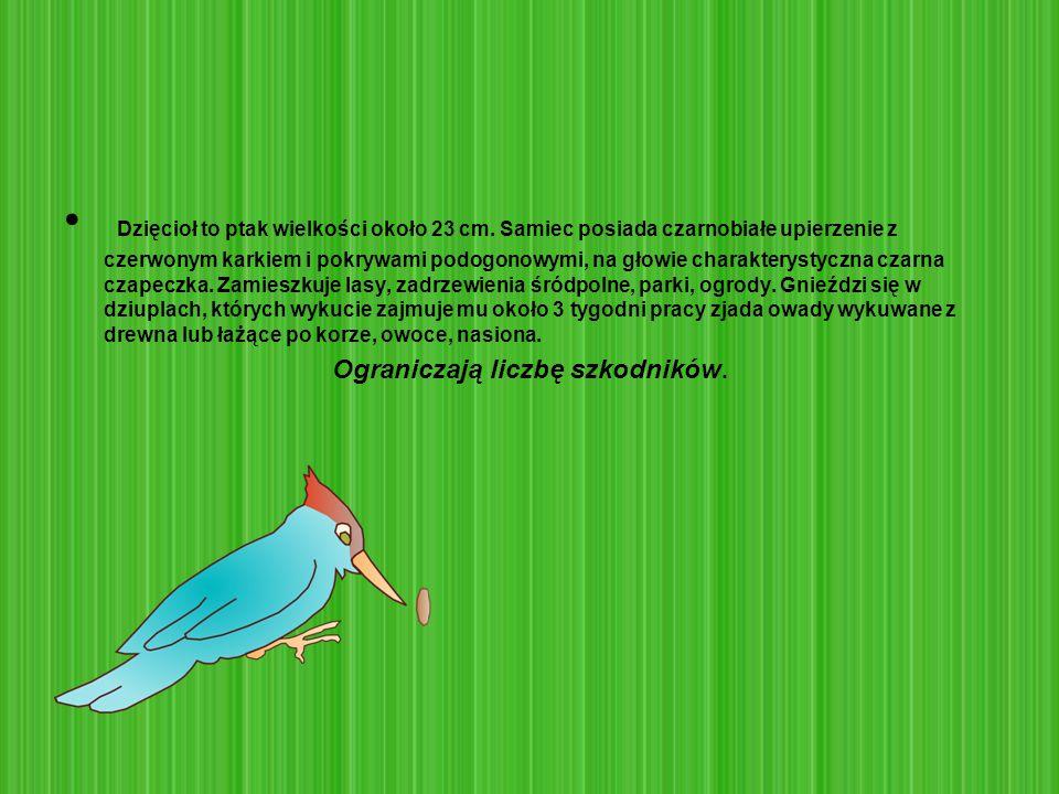 Dzięcioł to ptak wielkości około 23 cm. Samiec posiada czarnobiałe upierzenie z czerwonym karkiem i pokrywami podogonowymi, na głowie charakterystyczn