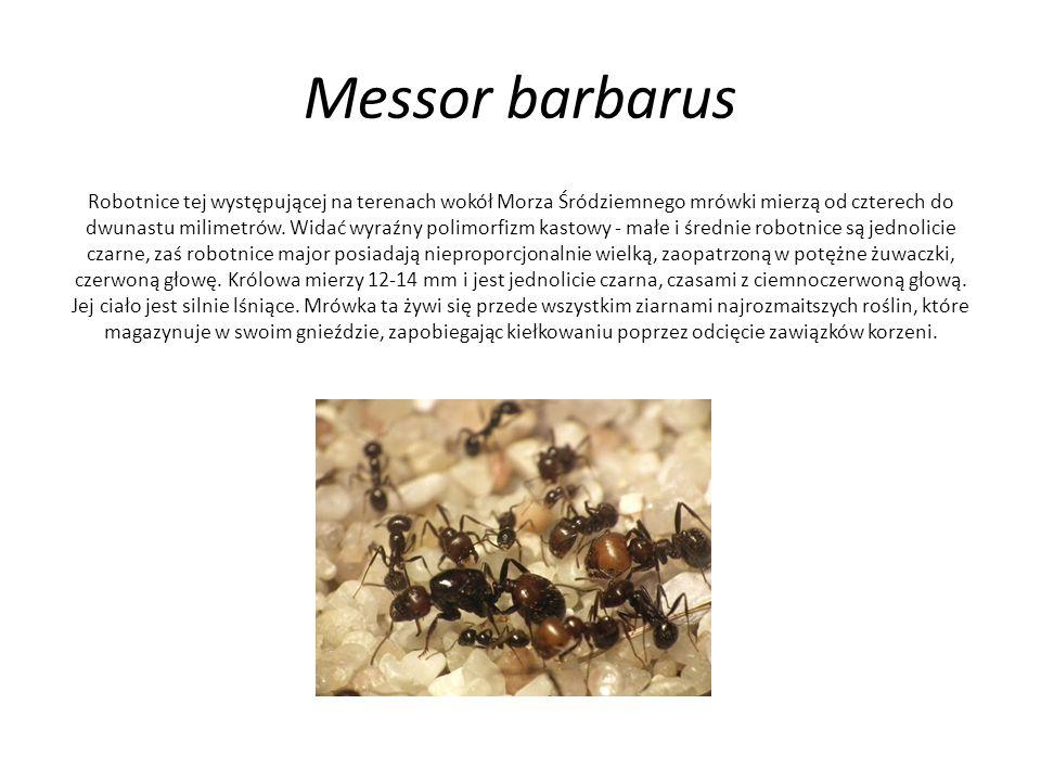 Messor barbarus Robotnice tej występującej na terenach wokół Morza Śródziemnego mrówki mierzą od czterech do dwunastu milimetrów. Widać wyraźny polimo