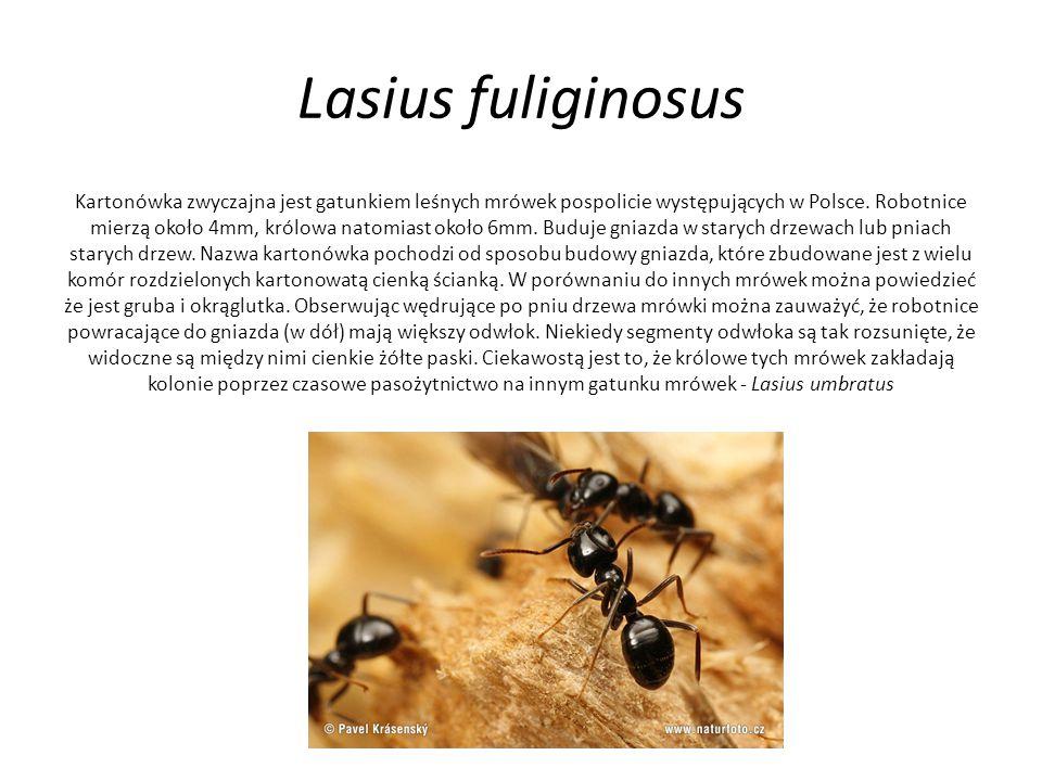 Lasius fuliginosus Kartonówka zwyczajna jest gatunkiem leśnych mrówek pospolicie występujących w Polsce. Robotnice mierzą około 4mm, królowa natomiast