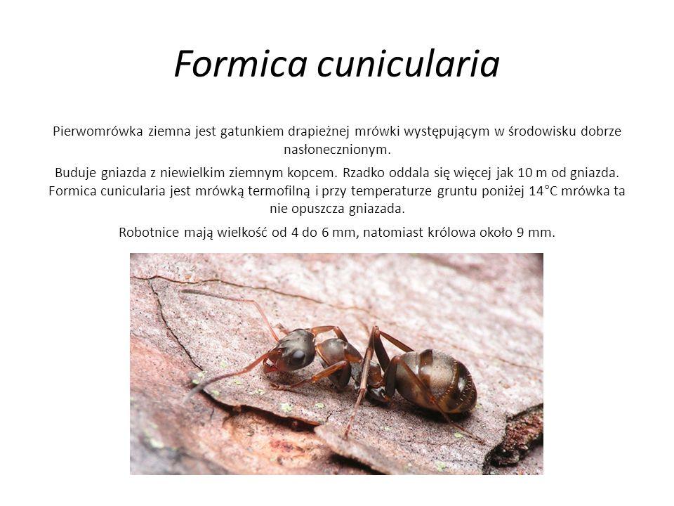 Formica cunicularia Pierwomrówka ziemna jest gatunkiem drapieżnej mrówki występującym w środowisku dobrze nasłonecznionym. Buduje gniazda z niewielkim