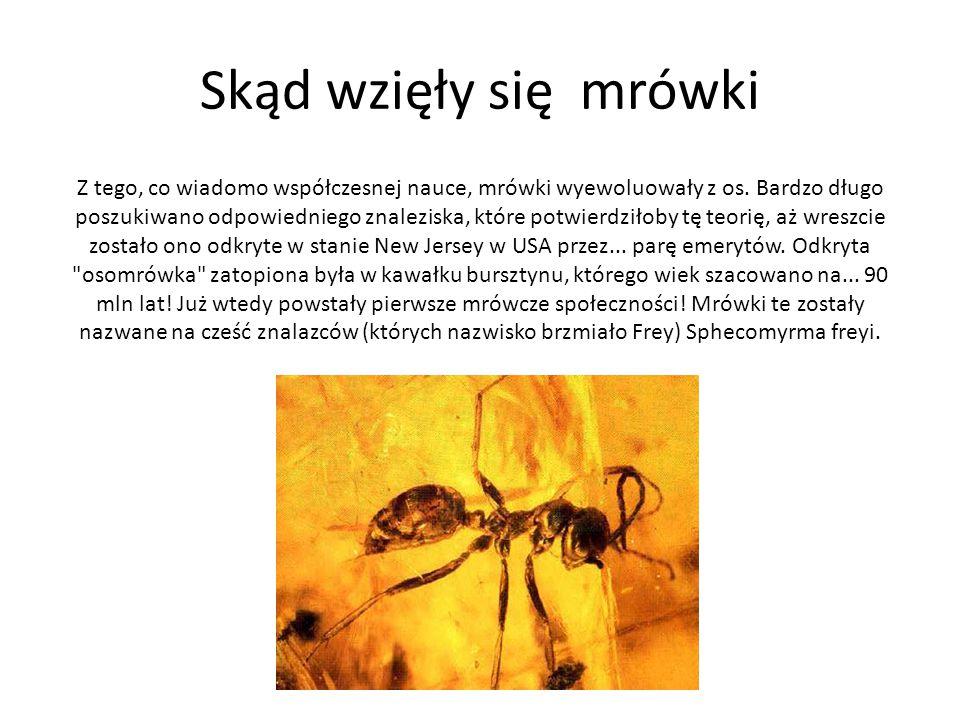 Skąd wzięły się mrówki Z tego, co wiadomo współczesnej nauce, mrówki wyewoluowały z os. Bardzo długo poszukiwano odpowiedniego znaleziska, które potwi
