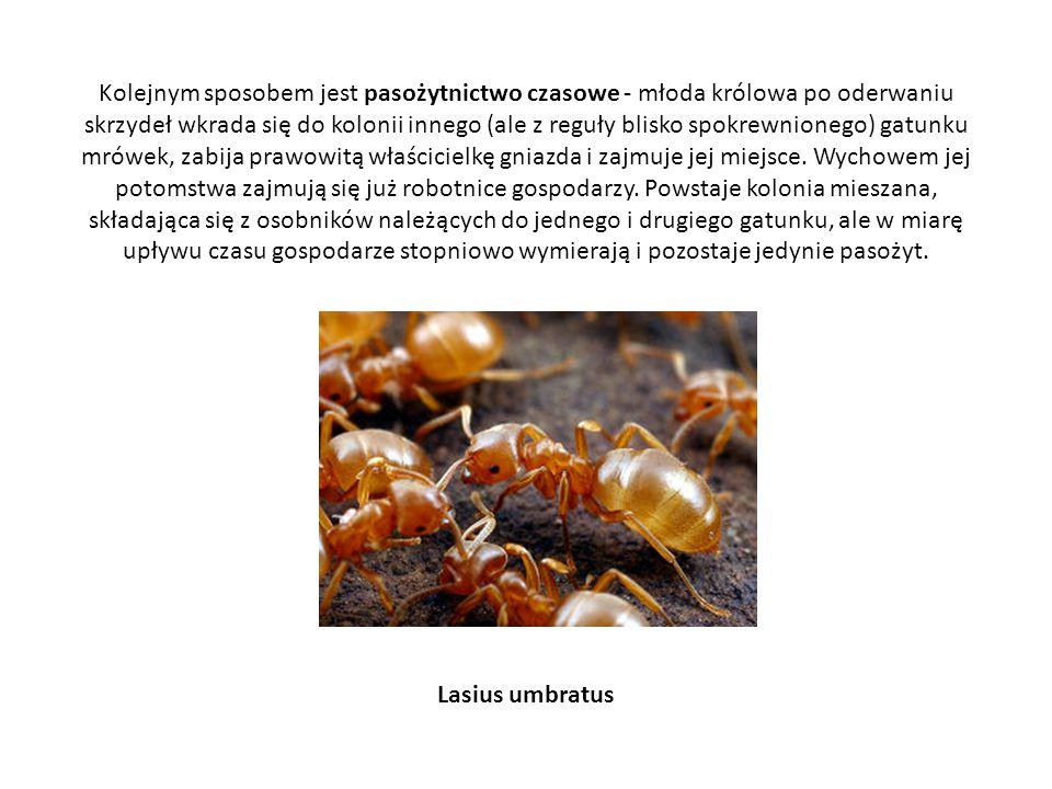 Kolejnym sposobem jest pasożytnictwo czasowe - młoda królowa po oderwaniu skrzydeł wkrada się do kolonii innego (ale z reguły blisko spokrewnionego) g