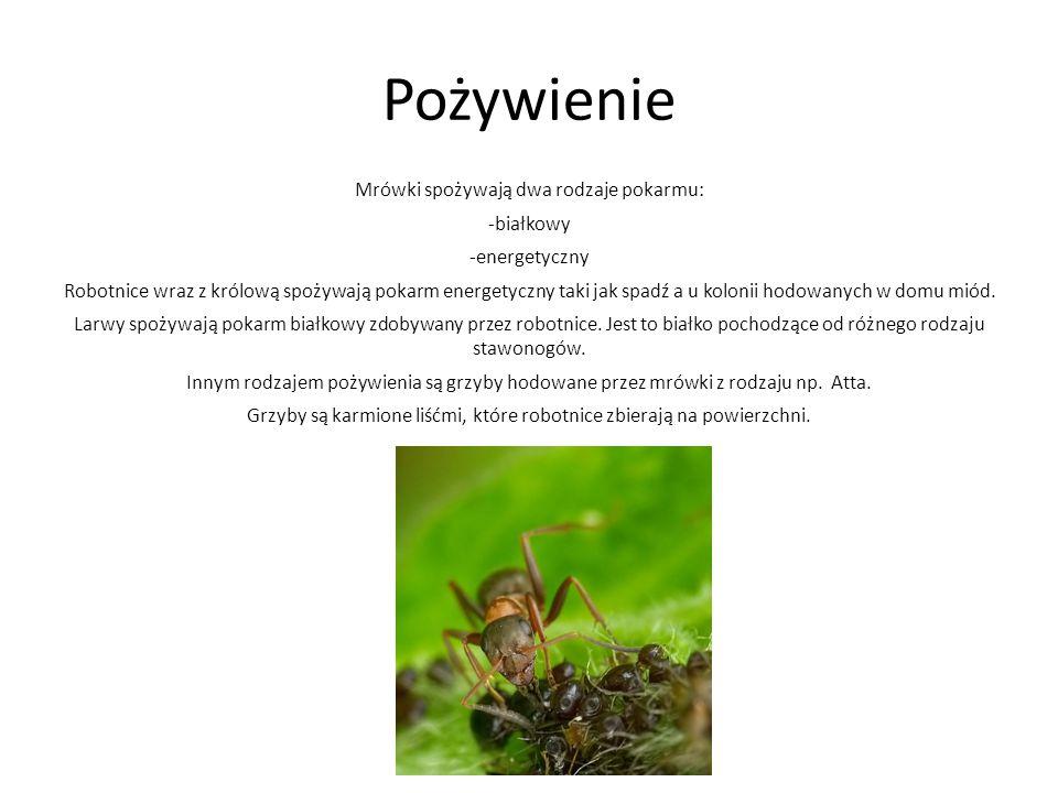 Pożywienie Mrówki spożywają dwa rodzaje pokarmu: -białkowy -energetyczny Robotnice wraz z królową spożywają pokarm energetyczny taki jak spadź a u kol