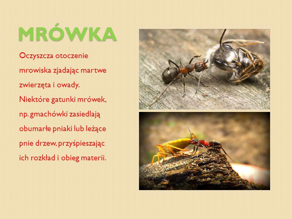 MRÓWKA Chroni drzewa i roślinność zjadając szkodniki, które stanowią nawet do 75% pokarmu zjadanego przez mrówki.