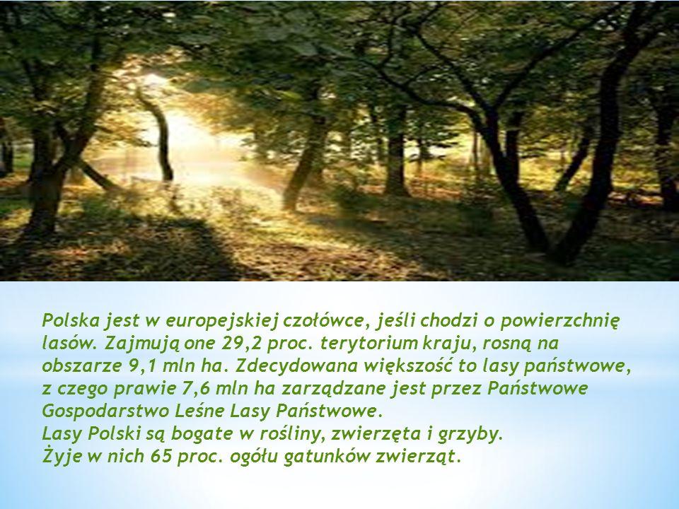 Polska jest w europejskiej czołówce, jeśli chodzi o powierzchnię lasów. Zajmują one 29,2 proc. terytorium kraju, rosną na obszarze 9,1 mln ha. Zdecydo