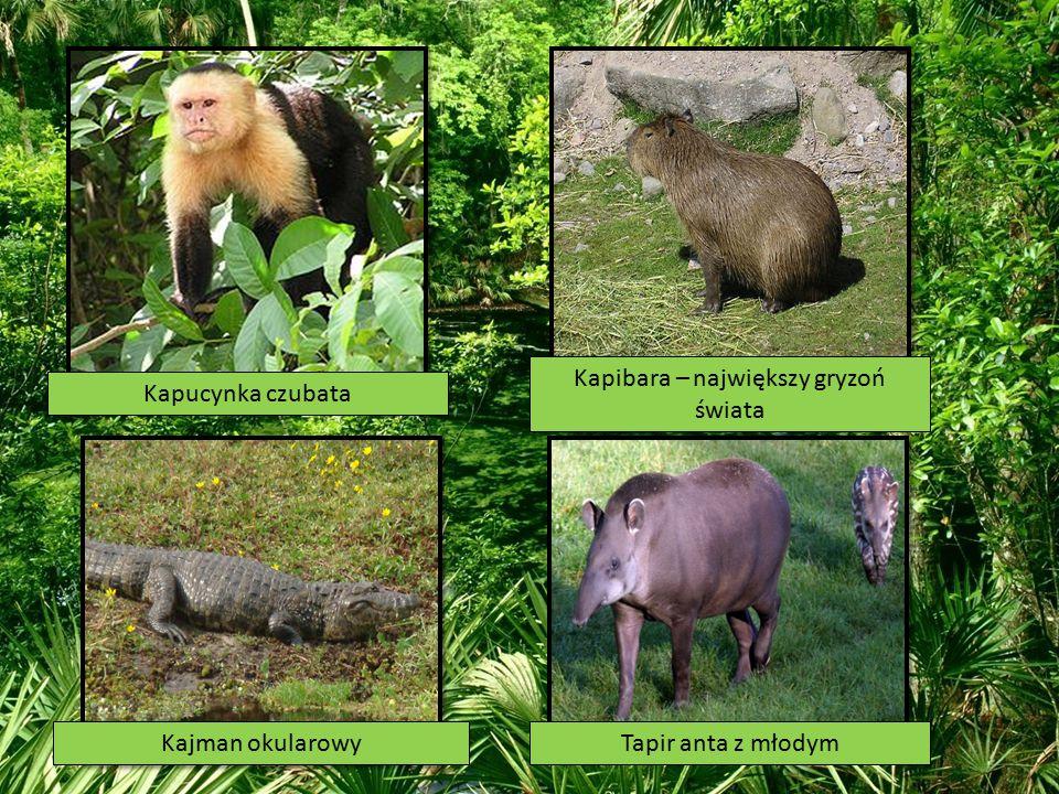 Kapucynka czubata Kapibara – największy gryzoń świata Kajman okularowyTapir anta z młodym