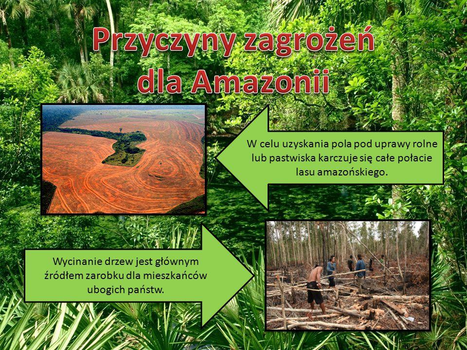 W celu uzyskania pola pod uprawy rolne lub pastwiska karczuje się całe połacie lasu amazońskiego.