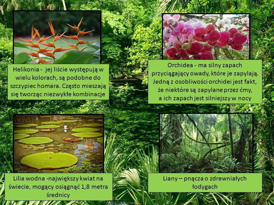 Helikonia - jej liście występują w wielu kolorach, są podobne do szczypiec homara. Często mieszają się tworząc niezwykłe kombinacje Orchidea - ma siln