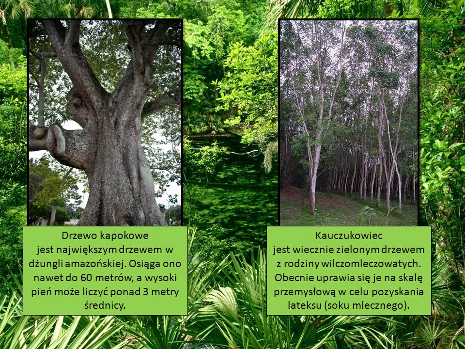 Drzewo kapokowe jest największym drzewem w dżungli amazońskiej. Osiąga ono nawet do 60 metrów, a wysoki pień może liczyć ponad 3 metry średnicy. Kaucz
