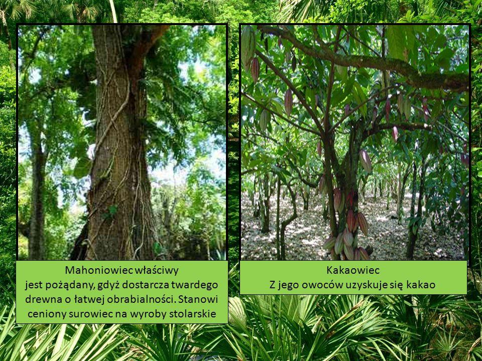 Mahoniowiec właściwy jest pożądany, gdyż dostarcza twardego drewna o łatwej obrabialności. Stanowi ceniony surowiec na wyroby stolarskie Kakaowiec Z j