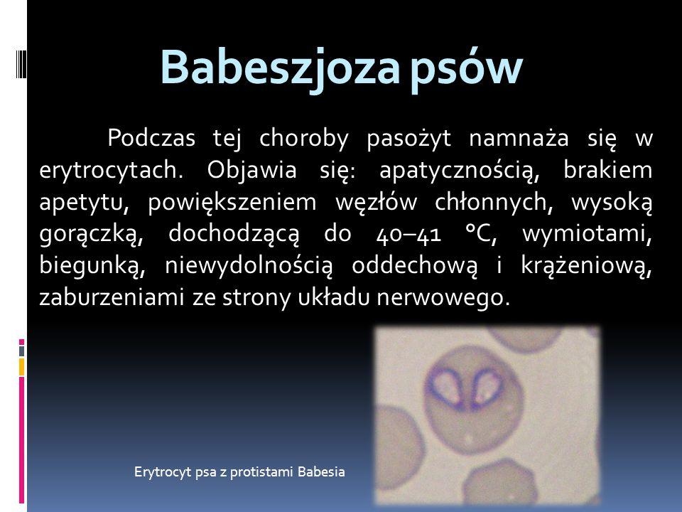 Babeszjoza psów Erytrocyt psa z protistami Babesia pasożyt namnaża się w erytrocytach. Podczas tej choroby pasożyt namnaża się w erytrocytach. Objawia