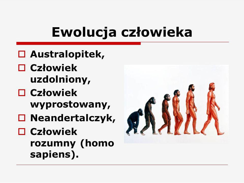 Ewolucja człowieka  Australopitek,  Człowiek uzdolniony,  Człowiek wyprostowany,  Neandertalczyk,  Człowiek rozumny (homo sapiens).