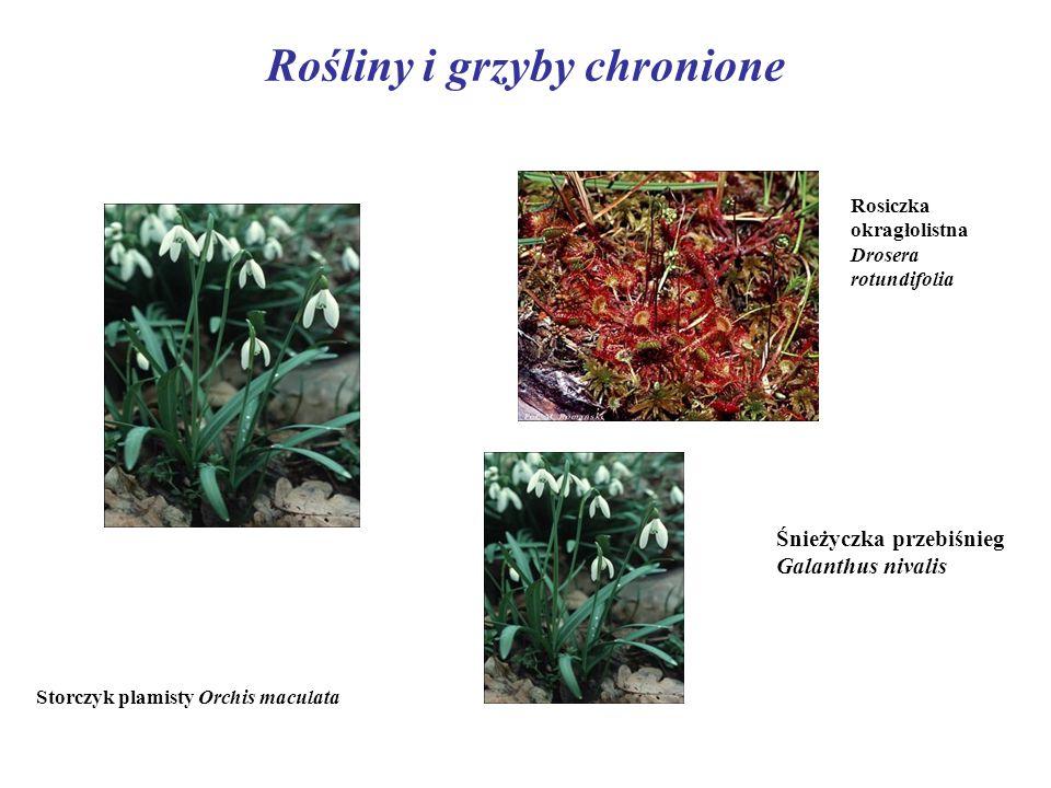 Rośliny i grzyby chronione Storczyk plamisty Orchis maculata Rosiczka okragłolistna Drosera rotundifolia Śnieżyczka przebiśnieg Galanthus nivalis