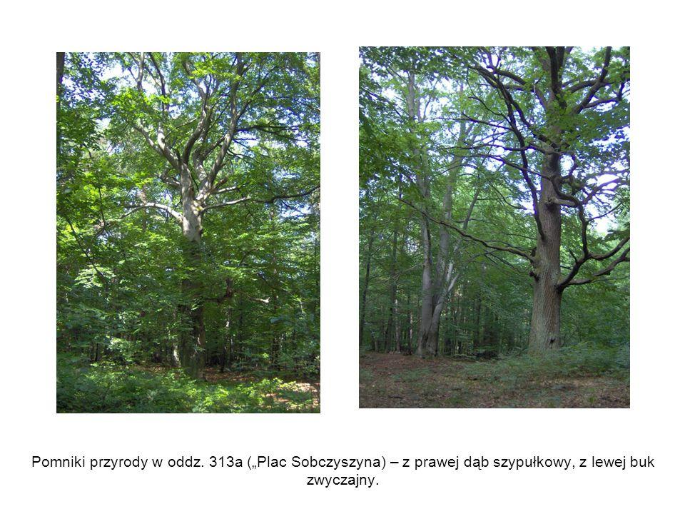 """Pomniki przyrody w oddz. 313a (""""Plac Sobczyszyna) – z prawej dąb szypułkowy, z lewej buk zwyczajny."""