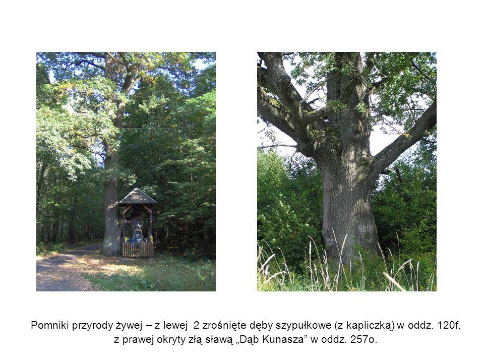 """Pomniki przyrody żywej – z lewej 2 zrośnięte dęby szypułkowe (z kapliczką) w oddz. 120f, z prawej okryty złą sławą """"Dąb Kunasza"""" w oddz. 257o."""