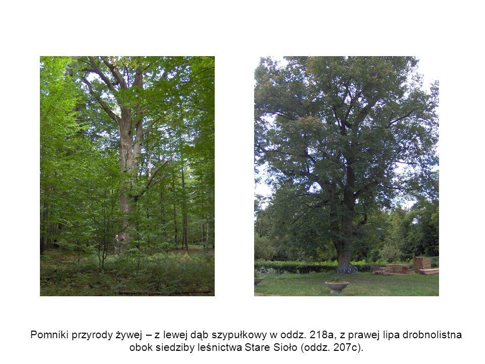 Pomniki przyrody żywej – z lewej dąb szypułkowy w oddz. 218a, z prawej lipa drobnolistna obok siedziby leśnictwa Stare Sioło (oddz. 207c).