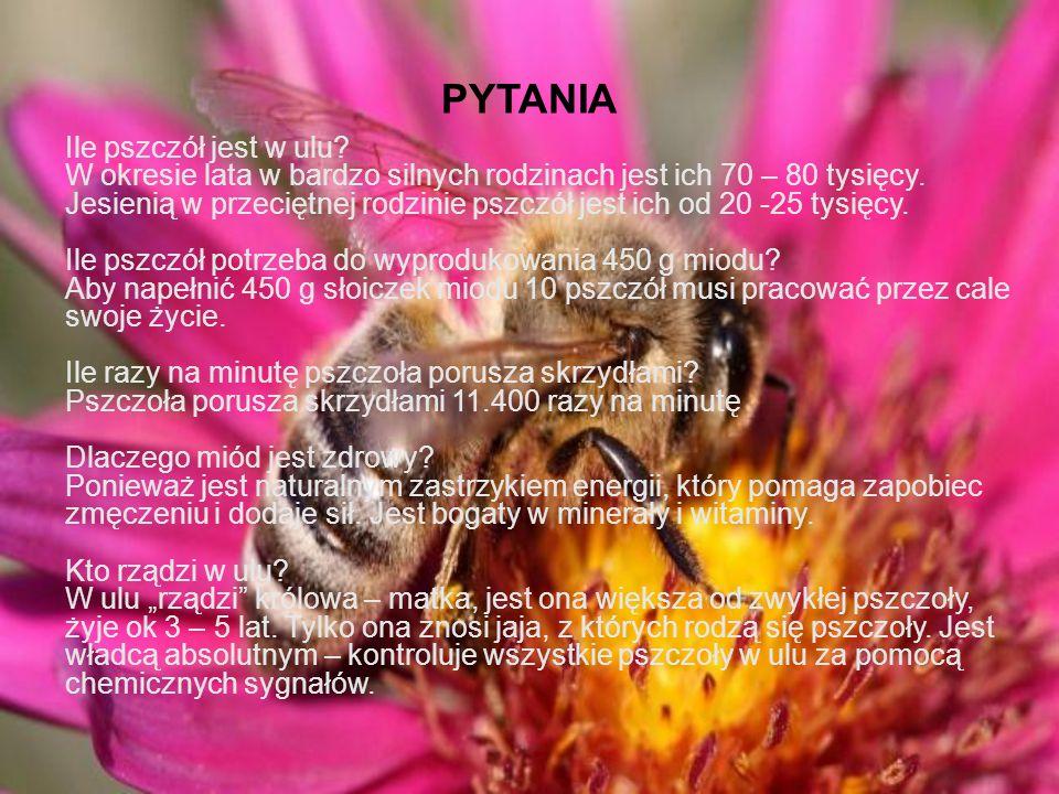 PYTANIA Ile pszczół jest w ulu.W okresie lata w bardzo silnych rodzinach jest ich 70 – 80 tysięcy.