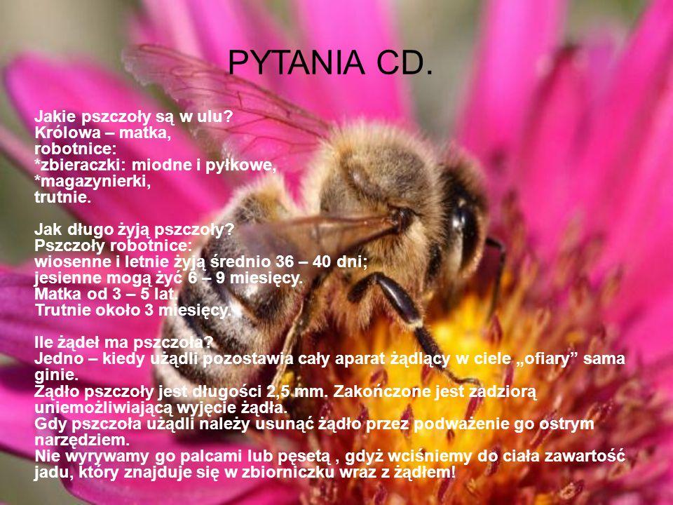 PYTANIA Ile pszczół jest w ulu? W okresie lata w bardzo silnych rodzinach jest ich 70 – 80 tysięcy. Jesienią w przeciętnej rodzinie pszczół jest ich o