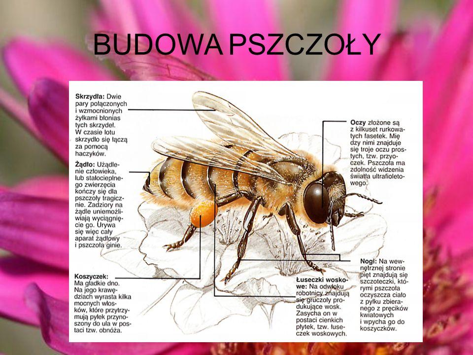 CIEKAWOSTKI Na świecie istnieje około 20 000 gatunków pszczół. Większość z nich nie została jeszcze opisana, a więc liczba ta może być dużo większa. N