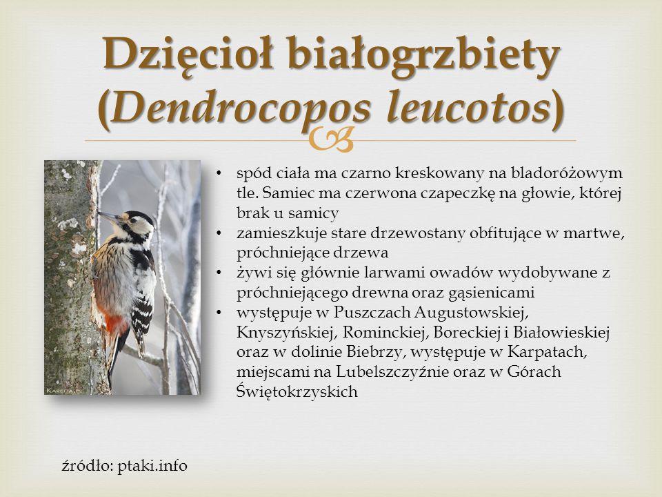  Dzięcioł czarny ( Dryocopus martius ) ubarwienie całe czarne.