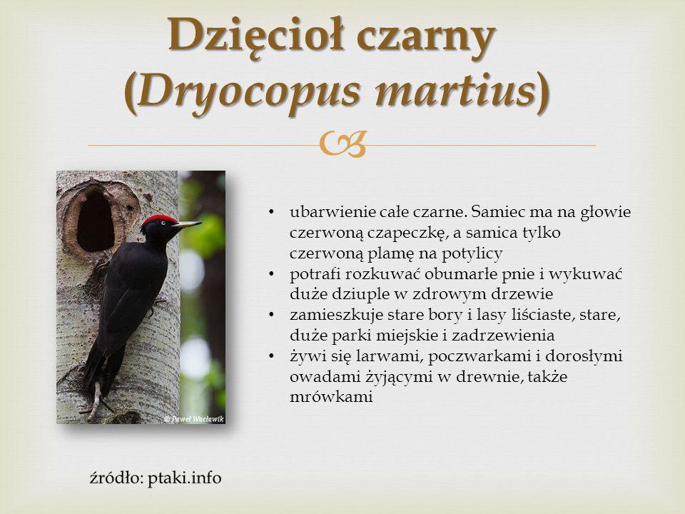  Dzięcioł trójpalczasty ( Picoides tridactylus ) ma długą, białą plamę na grzbiecie, skrzydła czarne, biało prążkowane na lotkach.