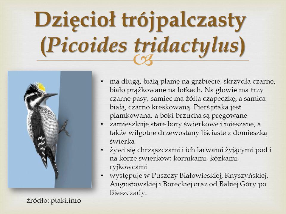  Dzięcioł zielony ( Picus viridis ) na głowie u obu płci występuje czerwona czapeczka sięgająca do karku, okolica oka czarna, a samiec ma ponadto czerwony, czarno obwiedziony wąs.