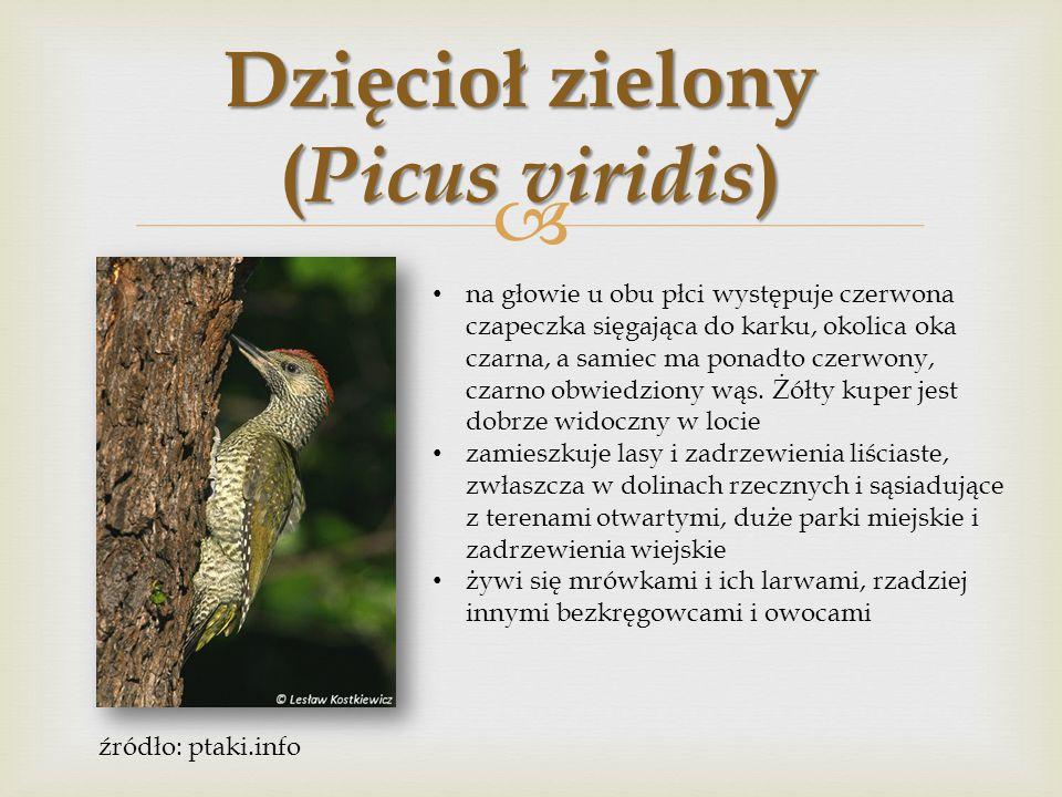  Krętogłów (Jynx torquilla) ubarwienie ptaka jest maskujące, z wierzchu szare, brązowe i czarne.