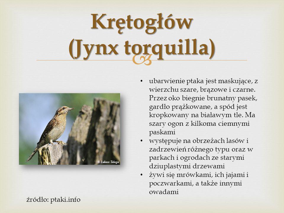  Dzięciołek (Dendrocopos minor) ptak o pstrym ubarwieniu, wierzch ciała ma w poprzeczne pręgi, ogon czarny z białymi bocznymi sterówkami.