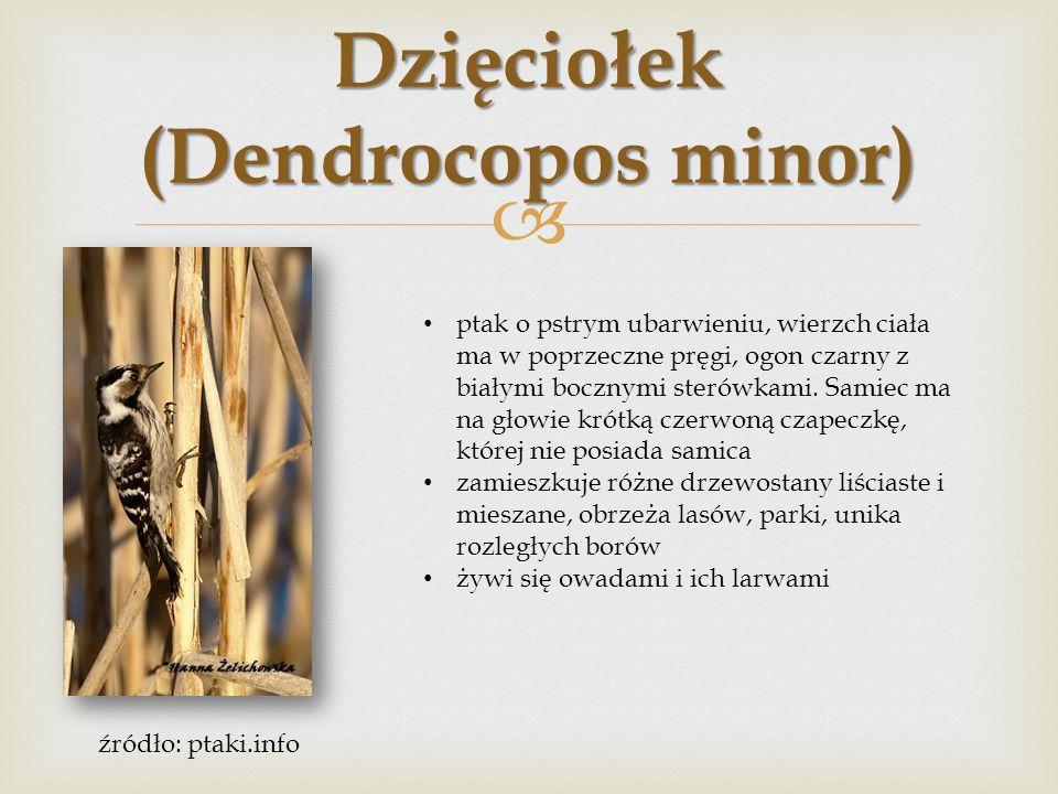  Dzięciołek (Dendrocopos minor) ptak o pstrym ubarwieniu, wierzch ciała ma w poprzeczne pręgi, ogon czarny z białymi bocznymi sterówkami. Samiec ma n