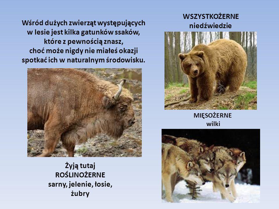 Zwierzęta, o których teraz opowiemy to SSAKI ZAJĄCA SZARAKA możecie spotkać prawie wszędzie - w lesie, na polu i na łące.