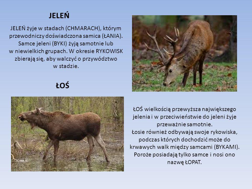Wśród dużych zwierząt występujących w lesie jest kilka gatunków ssaków, które z pewnością znasz, choć może nigdy nie miałeś okazji spotkać ich w naturalnym środowisku.